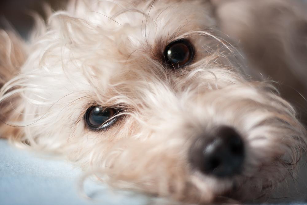 tumor-of-the-eye-in-dogs