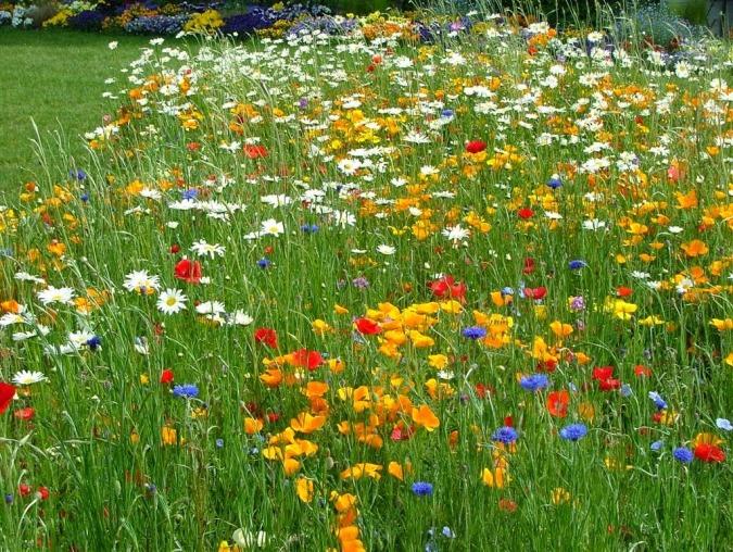 www.floraria-angela.blogspot.com- Flori de camp (1)