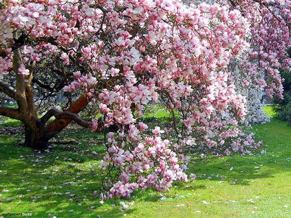 cand o magnolie de aurelia oanca