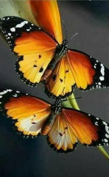 doi fluturasi de elena tudosa