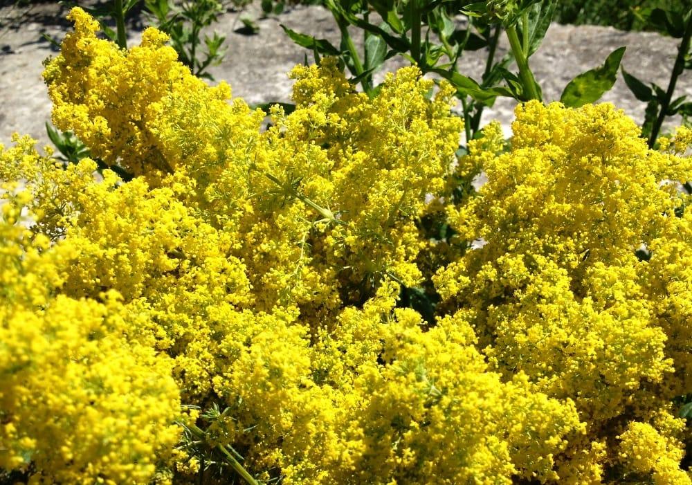 Flori de sanziene de Petraru Valentina
