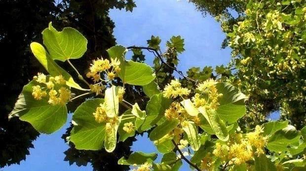 flori de tei de aurelia oanca