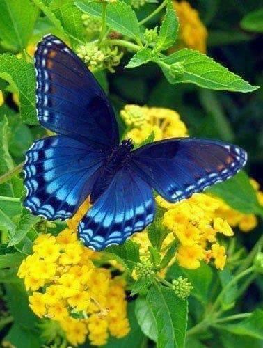 fluture albastru de aurelia oanca