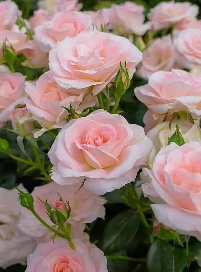 infloresc iar trandafirii de Valentina Petraru
