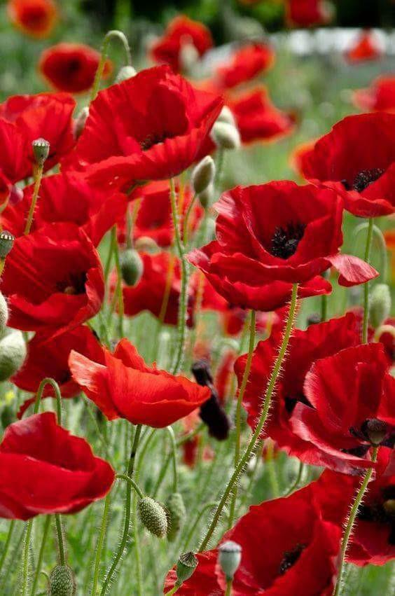 flori de maci de elena tudosa
