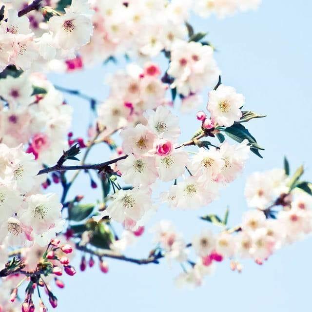 floare de cires de t dumitru