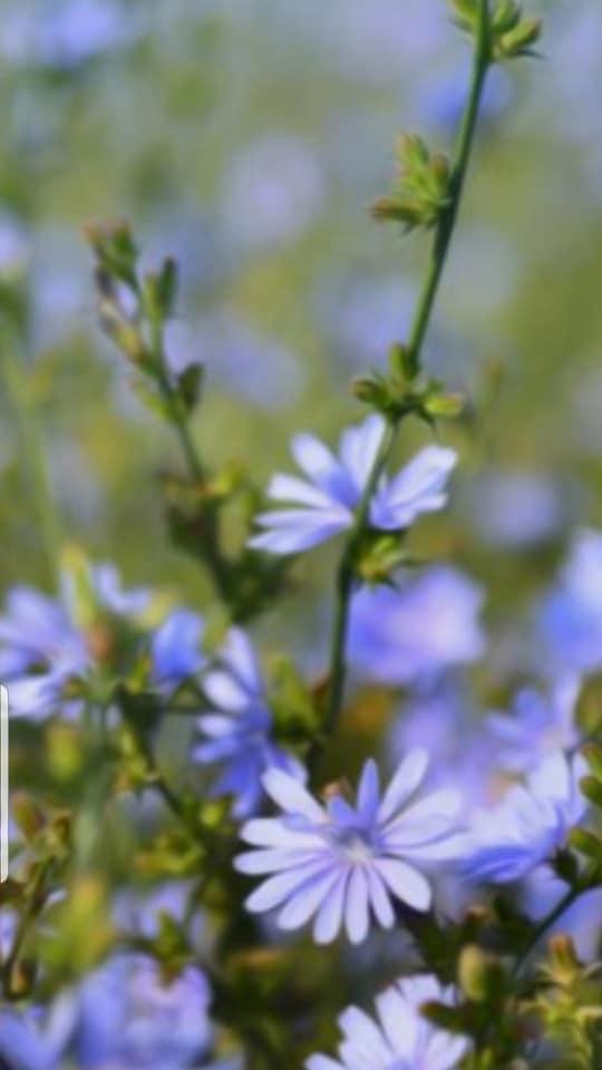 in flori de cicoare de a oanca