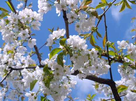 cherry-blossom-white-sky-bloom-48133